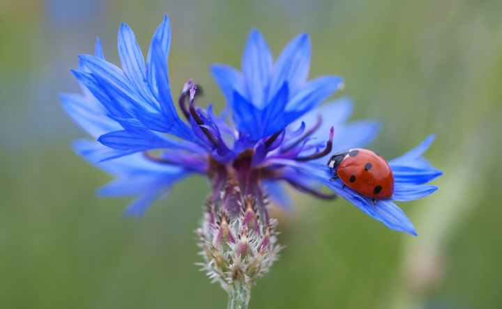 cornflower-ladybug-siebenpunkt-blue-70335.jpeg